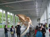 Blue whale skeleton from the front